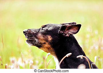 Rescue dog - cute black mongrel sitting on a grass, sunny morning meadow