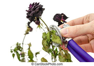 Rescue of a dry rose with medical stethoscope