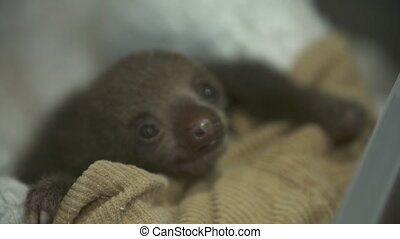 Rescued Baby Sloth | Sanctuary Nursery, Costa Rica -...