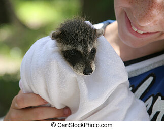 Rescued Raccoon Baby - A baby raccoon being held by a young...
