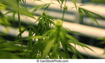 Research science medical cannabis, marijuana re focus detail, cultivation growth