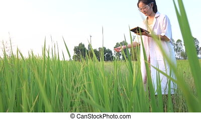 Researcher in the jasmine rice