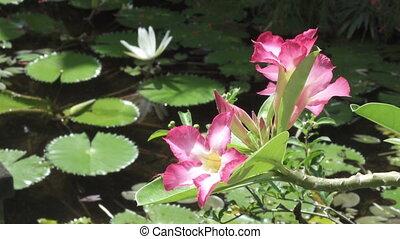 reservoir, lotus, adenium, tegen, hebben, witte bloemen,...