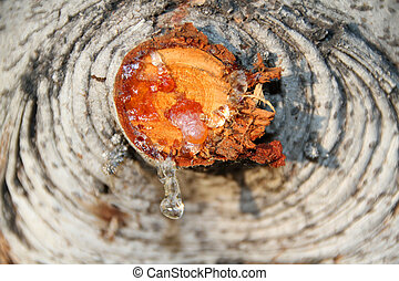 Resin drops from a tree, a nature background