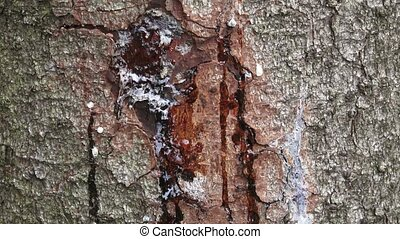 Resin on pine trunk, horizontal shot. Stripped bark on the...