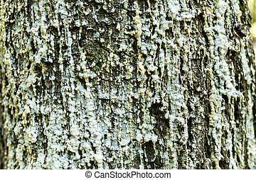 Resin on the bark of a tree