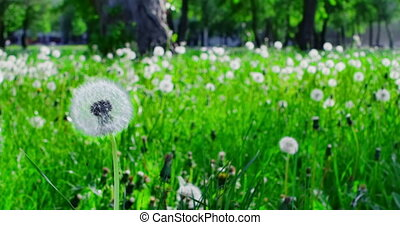 Resisting seeds - One blowing the dandelion seeds, but seeds...