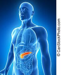 reso, maschio, 3d, illustrazione, pancreas