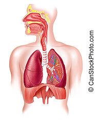 respirační, část, systém, kříž, plný, lidský