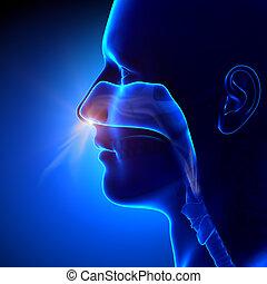 respiración, senos, -, /, anatomía, humano