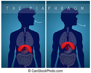 respirare, diaframma