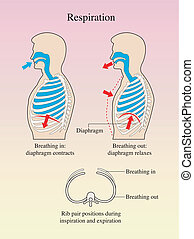 Respiration - medical illustration of the process of ...