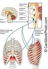 respiratoire, contrôle, centres