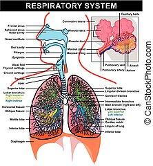 respiratorio, anatomía, diagrama, sistema
