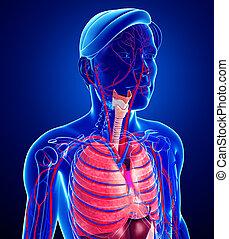 respiratorio, maschio, sistema