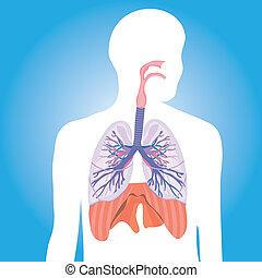 respiratorio, vector, system., humano
