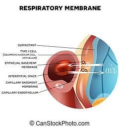 Respiratory membrane of alveolus closeup, detailed anatomy,...