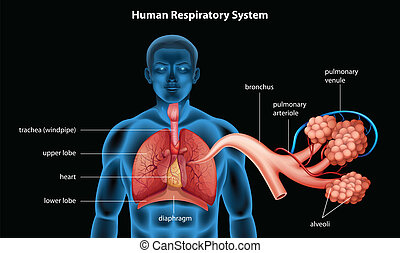 Respiratory System - Illustration showing the respiratory...