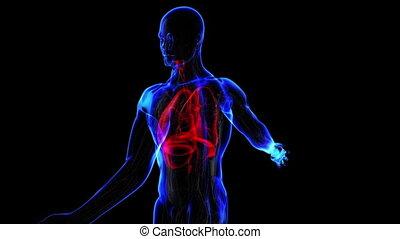 Human respiratory system. Loop