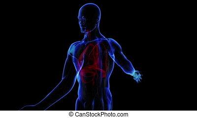 Transition body - respiratory system - body. Loop