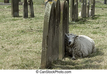 Sheep resting against ancient gravestones in an English churchyard