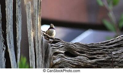 Resting Archilochus alexandri, Black Chinned Hummingbird