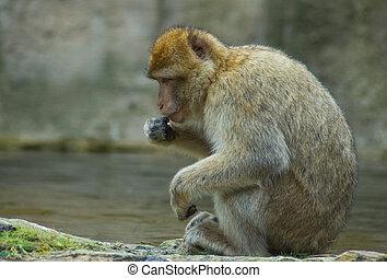 Resting Berber Ape - Resting Berber ape in a zoo