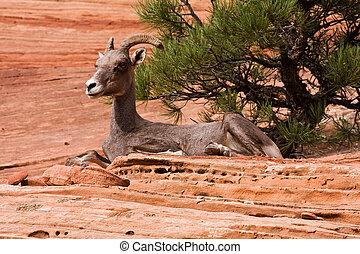 Resting Big Horn Sheep