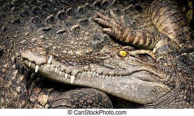 Resting Crocodile Blinks