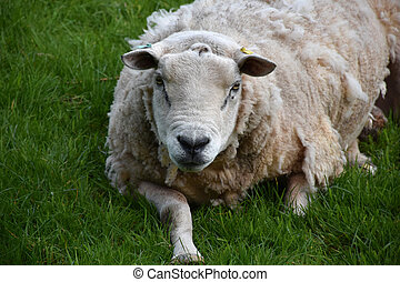Resting Ewe Laying in a Grass Field in England