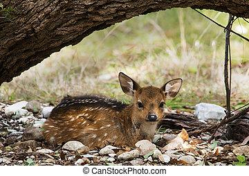 Resting Fallow Deer at Garner State Park in Texas.