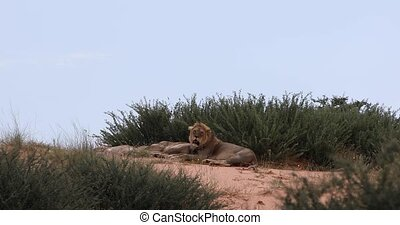 resting family of lion in Kalahari national park, South Africa wildlife safari