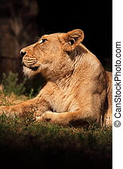 Resting lioness - A lioness while resting in the shade of a...