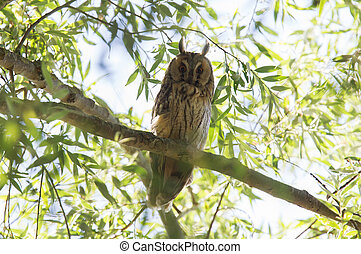 Resting long-eared owl up high in a tree