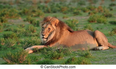 Resting male lion