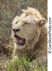 Resting Male White Lion Portrait 1