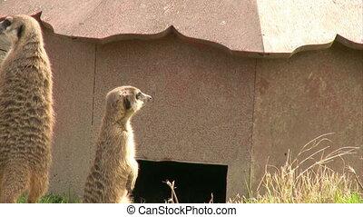 Meerkat - resting Meerkat looking at the camera