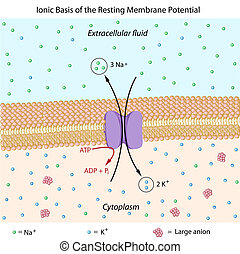 Resting membrane potential - Ionic basis of resting membrane...