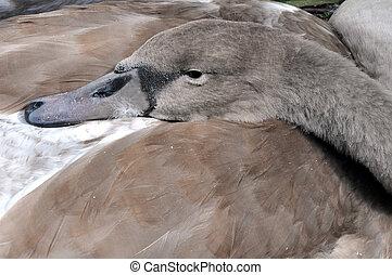 Resting Mute Swan Cygnet - A wild juvenile mute swan cygnet...