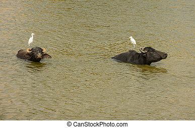 Resting water buffalos