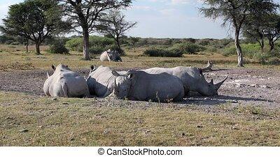 Resting white rhinoceros Khama Rhino Sanctuary reservation, Botswana safari wildlife, Wild animal in the nature habitat. This is Africa.