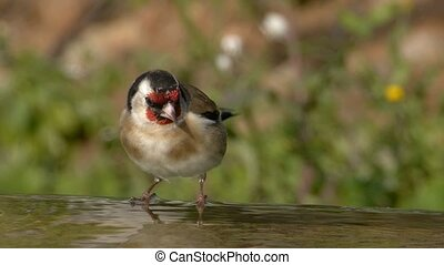 restless Goldfinch - restless goldfinch, on the edge of the...