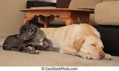 Restless Pup Syndrome - Puppy laying on older dog chasing a...