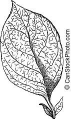 reticulate-veined, blad, vinhøst, gravering