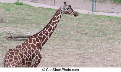 Reticulated Giraffe. Geographic Range: arid and dry-savannah...