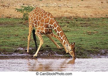 Reticulated Giraffe (Giraffa camelopardalis) drinking water along river bank. Samburu National Reserve Kenya, Africa