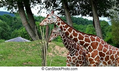 Reticulated giraffe (lat. Giraffa camelopardalis...