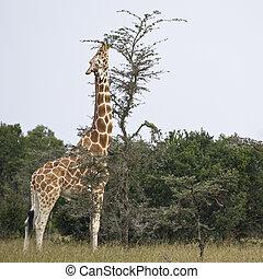 Reticulated Giraffe or Somali Giraffe, Republic of Kenya, East Africa