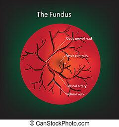 Illustration of human fundus.