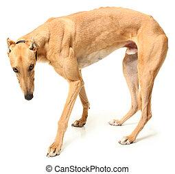Retired Greyhound Racer - Retired greyhound racer over white...